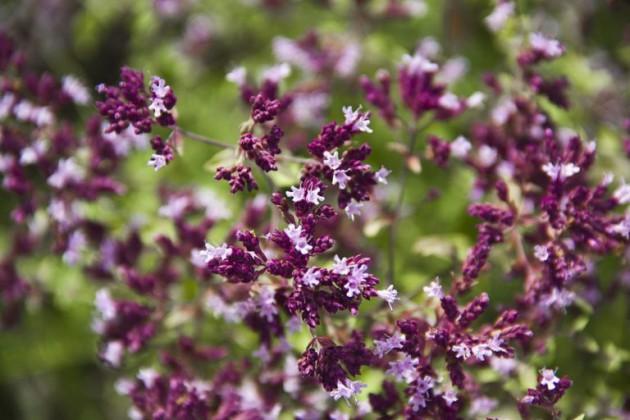 «Женская трава»: душица при климаксе