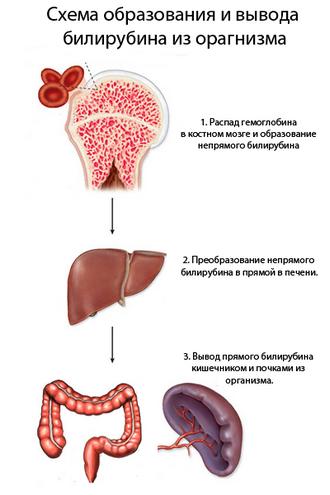 Полезные свойства билирубина
