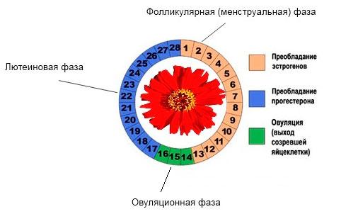фазы менструального цикла по дням
