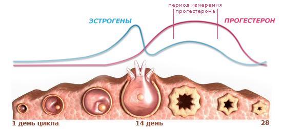 гормоны цикла