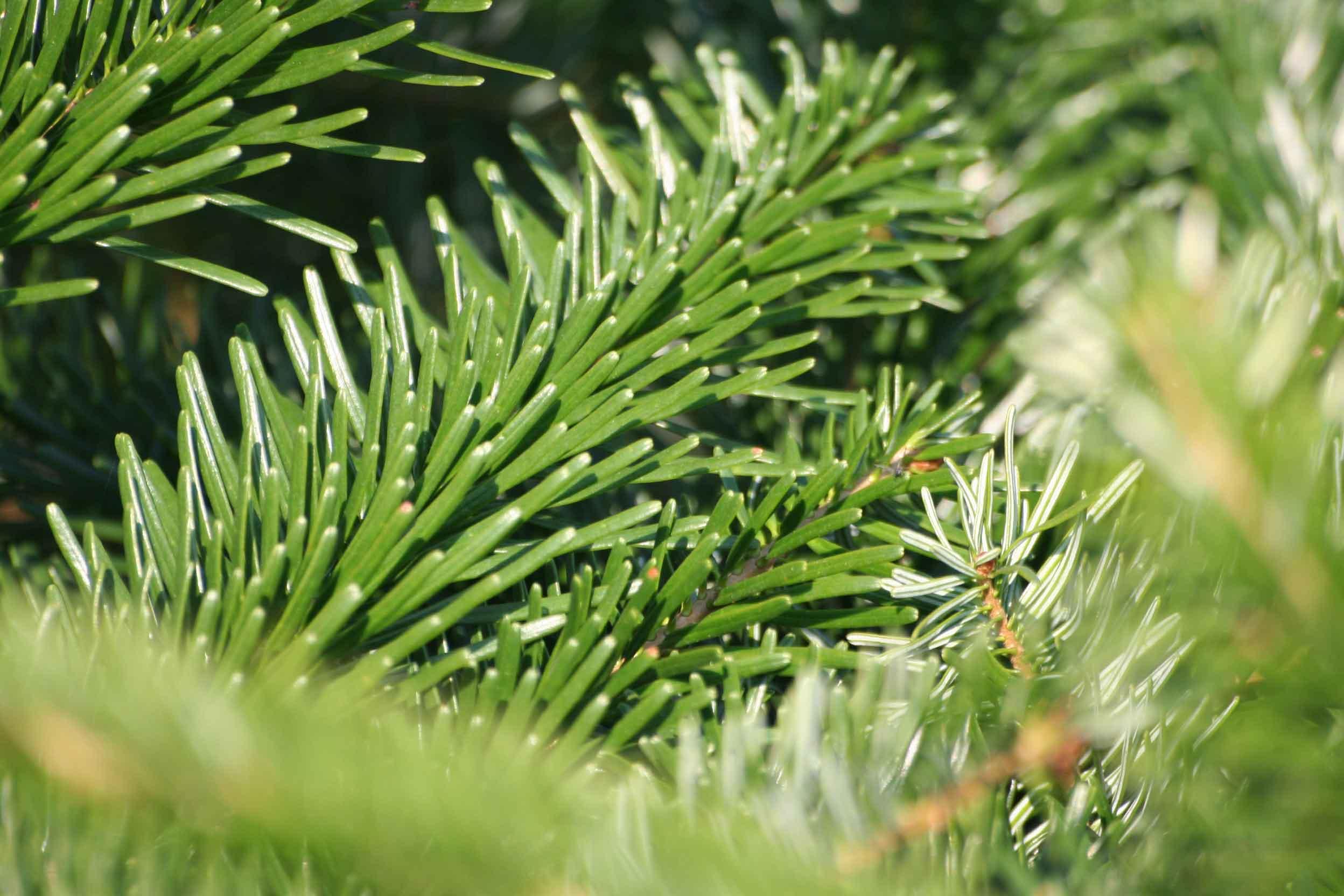 елка или сосна на новый год