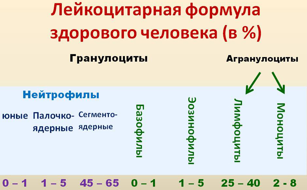 соотношение лейкоцитов