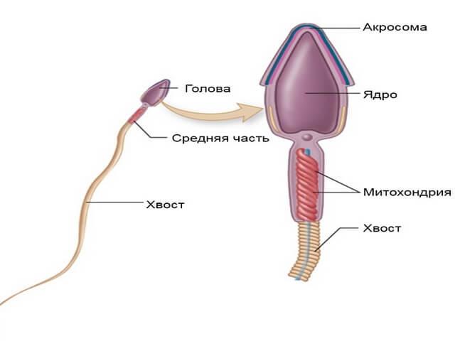 Сколька дней держится сперма